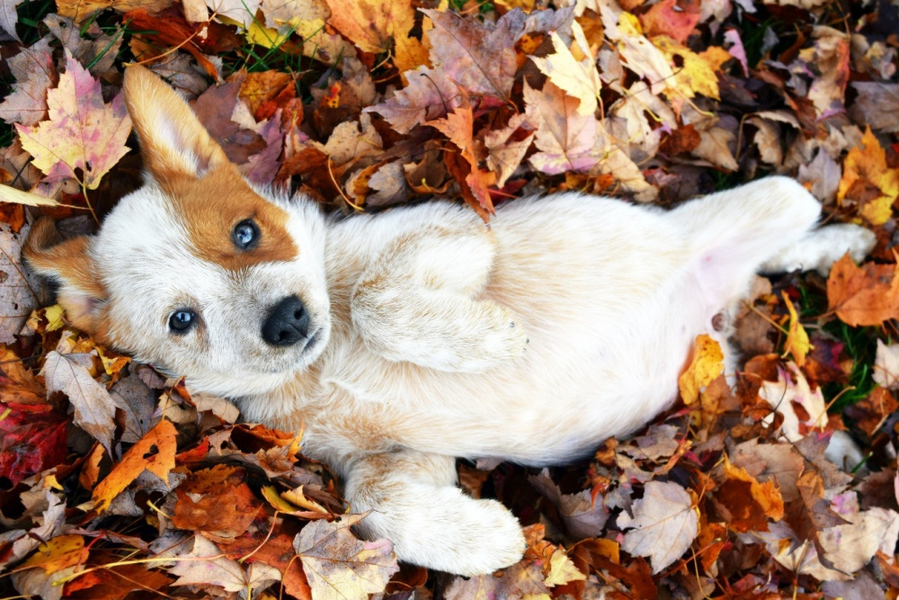 17028365-foster-puppy-came-to-play-in-the-leaves-dogs-cuteimagesnet-1473142241-1000-1b1c3e53b5-1473157128