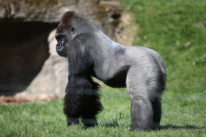 Silverback-Gorilla-Joins-London-Zoo-niTV0skBys1l