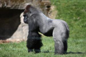 Silverback-Gorilla-Joins-London-Zoo-niTV0skBys1l