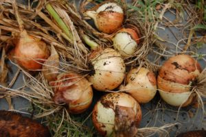 harvested-onions1