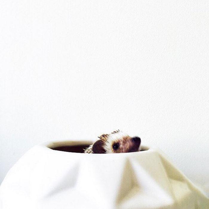 ordinary-hedgehogs-photography-hedgehographer-5