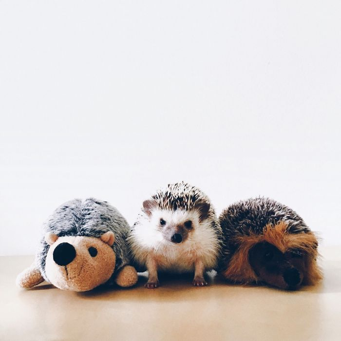 the-ordinary-lives-of-my-ordinary-hedgehogs-5__700