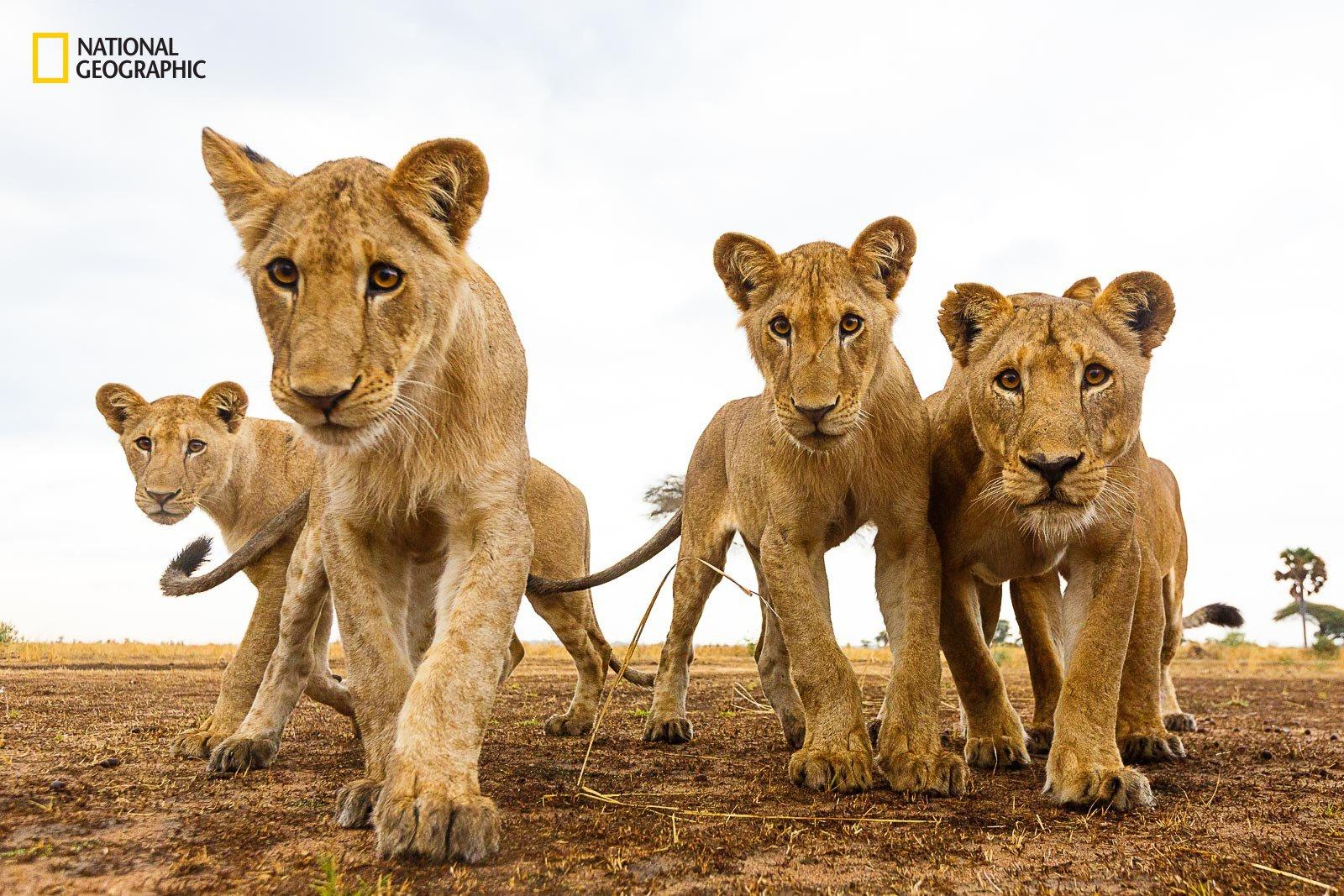 curious-lions