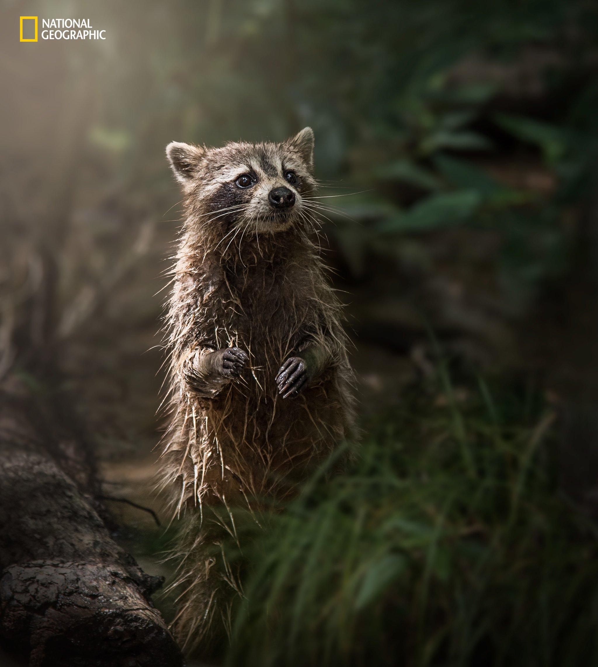 swamp-raccoon
