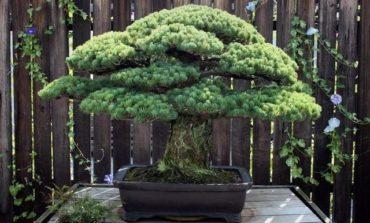 391-ci ilini yaşayan ağac