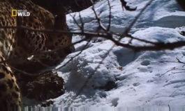 National Geographic'in Hirkan Qoruğunda çəkdiyi Azərbaycan bəbirləri | Video