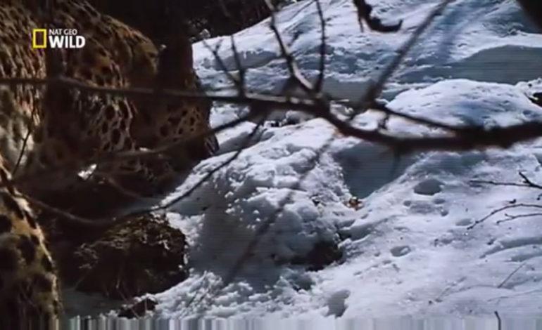 National Geographic'in Hirkan Qoruğunda çəkdiyi Azərbaycan bəbirləri   Video