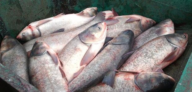 Xəzər dənizi balıqları