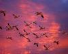Köçəri quşların adları | Siyahı