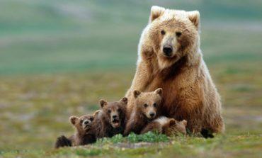 Dişi ayıların qayğıkeş və nəvazişli analıq instinkti