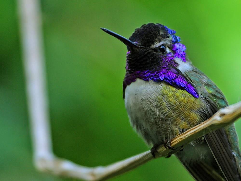 Kolibri quşu