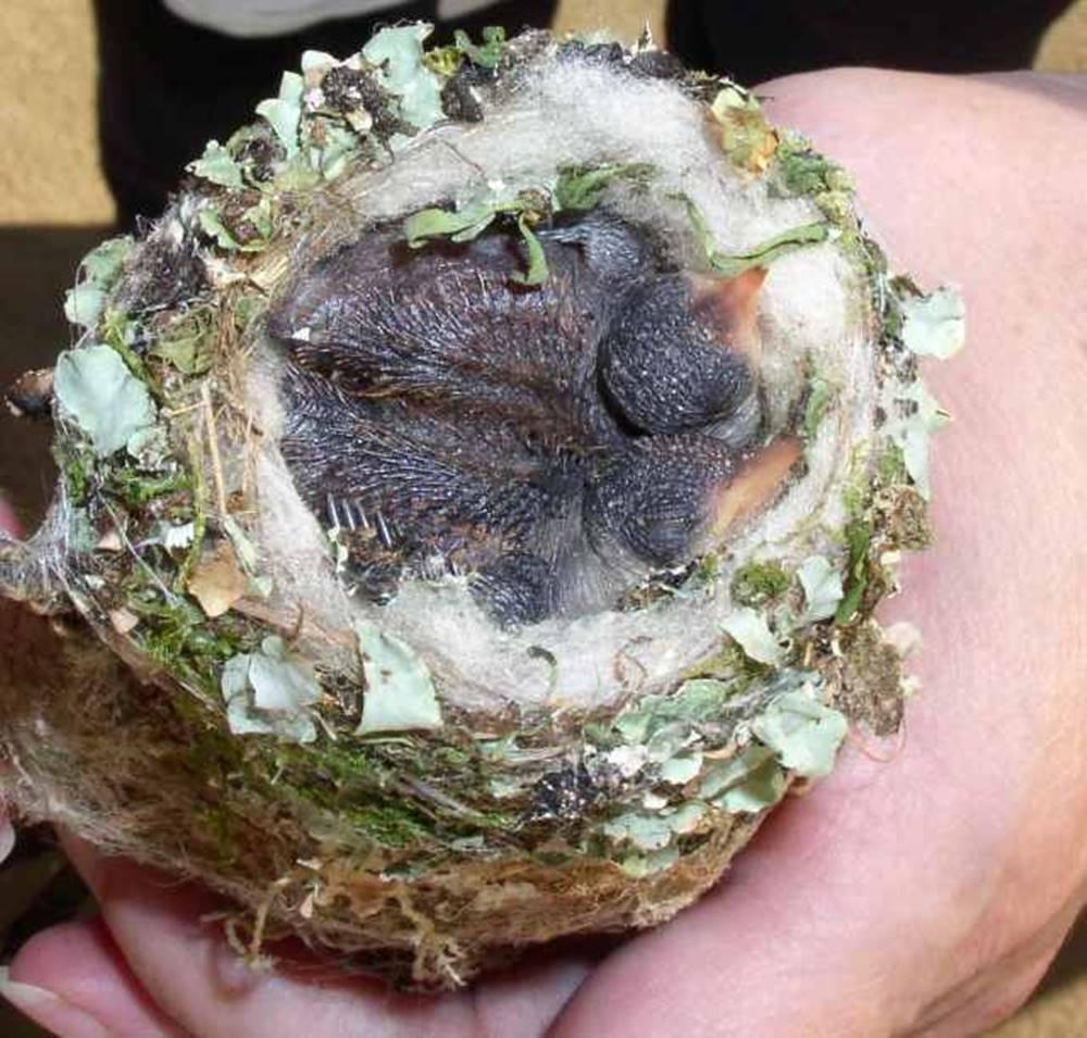 Quşu yuvasında iki bala milçək quşu