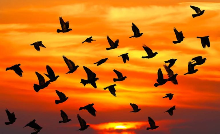Köçəri quşlar hansılardır?