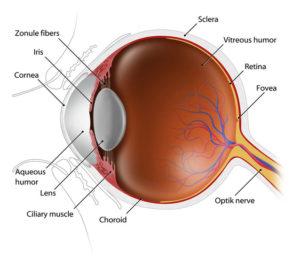 yaaz.az Gözün buynuz qişası toxumaları haqqinda