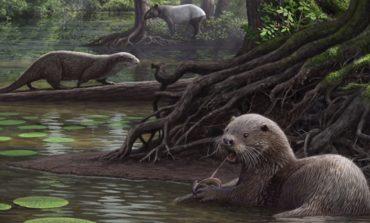 Çində 6 milyon yaşında nəhəng su samuru tapıldı