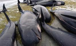 Yeni Zellandiyada 400 balina sahilə çıxdı