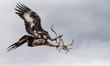 Fransa ordusu Dron'ları tuta bilən qartallar yetişdirir